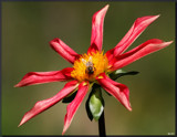 Dahlia Beautiful #2 by tigger3, photography->flowers gallery