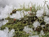 Cladonia on the rocks by chrblr, photography->nature gallery
