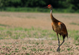 The Sandhill Crane_Walk On The Wild Side by tigger3, photography->birds gallery