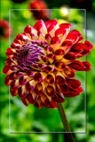 Dahlia Show 47 by corngrowth, photography->flowers gallery