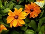 Tigers-Eye Gold Gloriosa Daisy by trixxie17, photography->flowers gallery