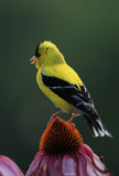 The American Goldfinch by tigger3, photography->birds gallery