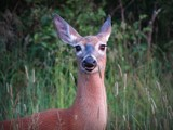 Deer # 62 by picardroe, photography->animals gallery