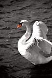 Almost B&W #3 by braces, Photography->Birds gallery