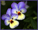 Pansies for Susanne by LynEve, photography->flowers gallery