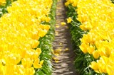 Yellow Bright Road by Pnelle, photography->flowers gallery