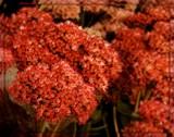 """Sedum """"Autumn Joy"""" by trixxie17, photography->flowers gallery"""