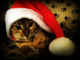 Merry Christmas by June, photography->pets gallery