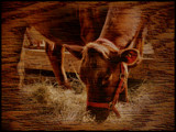 Bovine Blend by mesmerized, photography->animals gallery