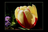 Tulip Sundae by tigger3, Photography->Flowers gallery