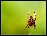 Arachnid by JQ, photography->insects/spiders gallery
