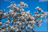 F² Magnolia's by corngrowth, photography->flowers gallery