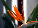 Birds of Paradise by Jeffo, Photography->Flowers gallery