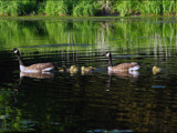 CDN Geese # 17 by dwdharvey, Photography->Birds gallery