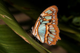 Got Powder Blues by rahto, Photography->Butterflies gallery