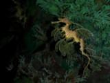 Sea Dragon, Sea World Park, Florida by sailorman6309, Photography->Underwater gallery