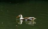 duck by gaeljet2, Photography->Birds gallery