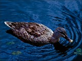 The Ripple Effect by LynEve, photography->birds gallery