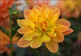 In The Dahlia Garden #9 Autumn Warmth by LynEve, photography->flowers gallery