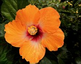 O. J. Hibiscus by trixxie17, photography->flowers gallery