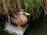 Like A Duck Out Of Water by LynEve, Photography->Birds gallery