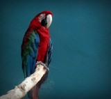 PERROT by picardroe, photography->birds gallery