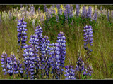 Lupines by panoramaster, Photography->Flowers gallery
