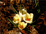A True Sign Of Spring_The Crocus by tigger3, photography->flowers gallery