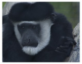 COLOBUS by garrettparkinson, Photography->Animals gallery