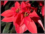Poinsettia in the Sun by trixxie17, photography->flowers gallery