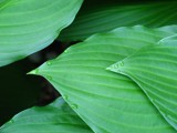 Hosta in the Morning 1 by zippee, Photography->Nature gallery