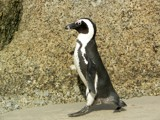 African Penguin 2 by jjmacky02, Photography->Birds gallery