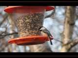 Chickadee # ? by scorpie, Photography->Birds gallery