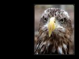 Bald Eagle – Juvenile by Hottrockin, Photography->Birds gallery