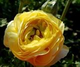 Lemony Light & Shadow by trixxie17, photography->flowers gallery