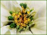 Macro Poinsettia by trixxie17, holidays->christmas gallery