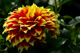 Dahlia Beautiful_Seventh Posting by tigger3, photography->flowers gallery