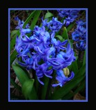 Hyacinth by LynEve, photography->flowers gallery