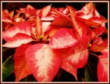 Sunday's Poinsettia by trixxie17, holidays->christmas gallery