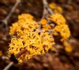 Cornelian Cherry by trixxie17, photography->flowers gallery