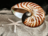 Striped Nautilus Shell by verenabloo, Photography->Still life gallery