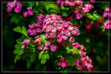 Crataegus Laevigata 'Paul's Scarlet' by corngrowth, photography->flowers gallery