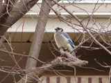 Blue Jay by lilkittees, Photography->Birds gallery