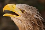Eagle by Paul_Gerritsen, Photography->Birds gallery