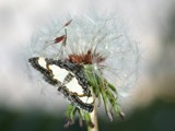 A Moth Spreading the Seed by bryancito, Photography->Insects/Spiders gallery