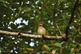 Cedar Waxwing by fivepatch, photography->birds gallery