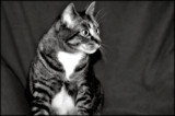 Manx Tabby by June, photography->pets gallery