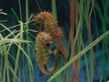 Seahorses by georgeniculae, Photography->Underwater gallery
