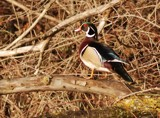 Wood Duck by gerryp, Photography->Birds gallery