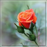 Miniature Rose by LynEve, photography->flowers gallery